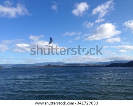 silver gull (Chroicocephalus novaehollandiae) flying over lake - stock photo