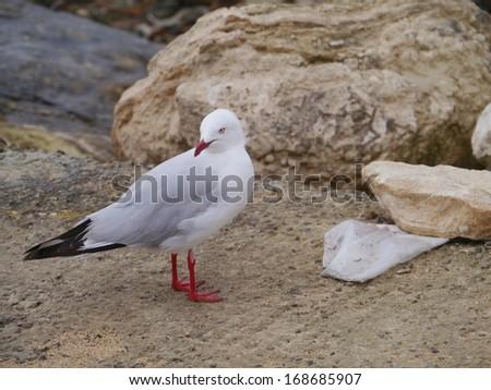 Silver gull (larus novaehollandiae) on the beach in Australia - stock photo