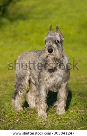 Silver schnauzer dog standing on green grass - stock photo