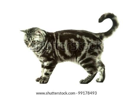 Silver tabby british cat playing isolated in the white background - stock photo