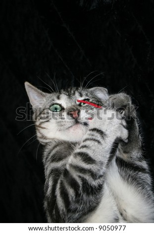 Silver Tabby Kitten (Felis sylvestris catus) with beautiful aquamarine eyes playing with red fabric mouse. - stock photo