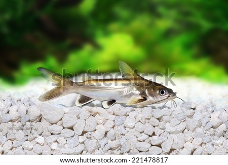 Silver-tipped Shark Catfish Ariopsis seemanni silver tipped - stock photo