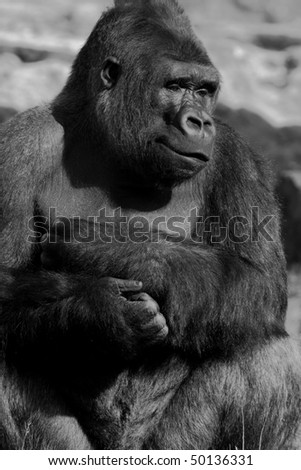 Silverback gorilla - stock photo