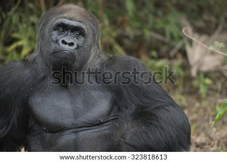 Silverback Gorilla Face Expression - stock photo