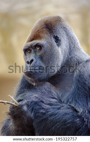 Silverback gorilla. Look carefully at camera with a stick in hand - stock photo