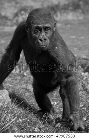 Silverback Gorilla youngster - stock photo