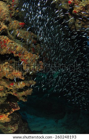 Silversides in the Tunnels, Grand Cayman - stock photo