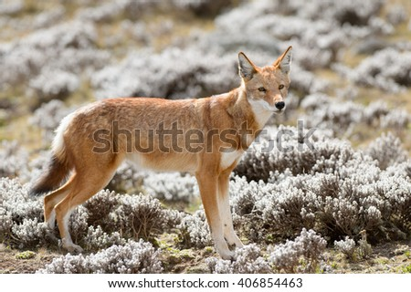 Simien Wolf (Canis simensis) in Bale Mountains - stock photo