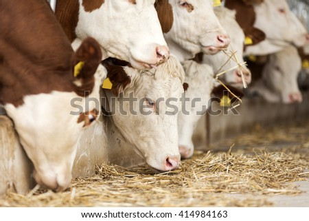 Simmental Cows - stock photo
