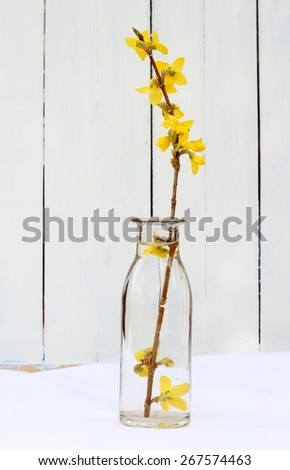 Simple floral arrangement of yellow forsythia branch in a plain glass vase, bottle on white fabric with old wooden painted panel in background , spring still life  - stock photo