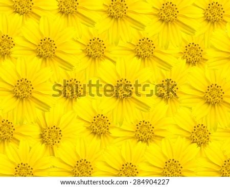 Singapore dailsy flower background, Flower Yellow background. - stock photo