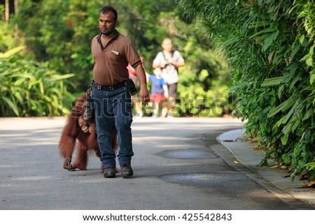 Singapore, Republic of Singapore - 6 May, 2016: Caretaker escorts a family of orangutans - stock photo