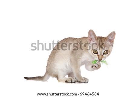 Singapura kitten on white - stock photo