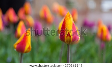 Singe Multi-Color Tulip About to Bloom with Spring Raindrops - stock photo