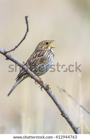 singing bird Corn Bunting / Emberiza calandra - stock photo