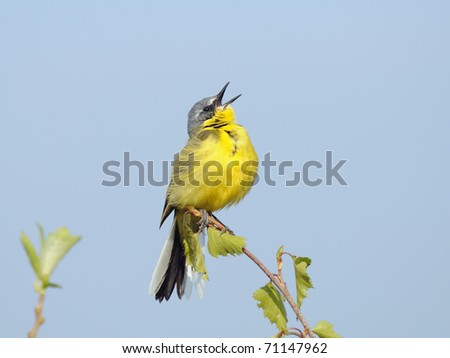 Singing Yellow Wagtail/Male of Yellow Wagtail sings attracting attention of his bride - stock photo