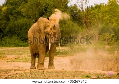 Single African elephant throwing sand - stock photo