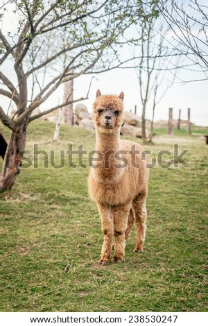 Single Alpaca standing in a field - stock photo