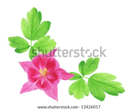 Single aquilegia red star flower isolated on white background - stock photo