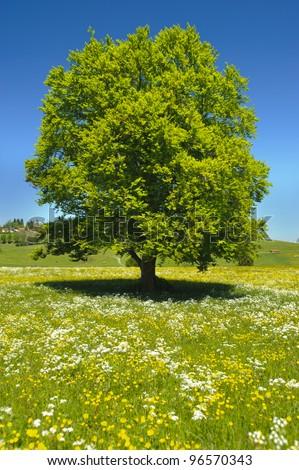 single beech tree at spring - stock photo