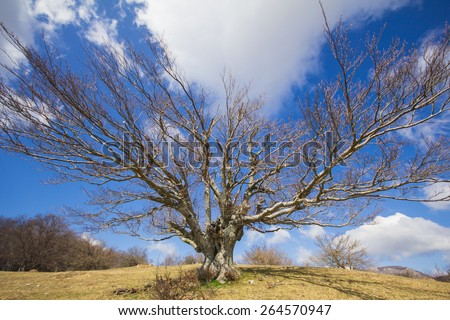 Single beech tree at winter in the natural reserve of Canfaito, Marche - Italy. - stock photo