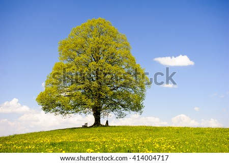 single big linden tree in meadow at spring - stock photo