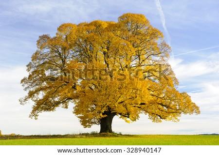 single big old linden tree at autumn - stock photo