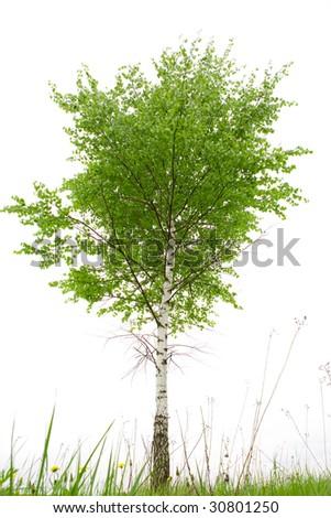 Single birch on white ground - stock photo
