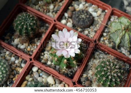 Single blooming cactus in succulent collection: pink flower of gymnocalycium anisitsii among gymnocalycium, parodia, echinopsis and atsrophytum - stock photo