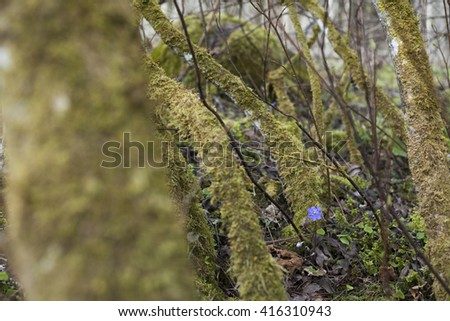 Single blue flower of kidneywort (Anemone hepatica) at spring day in European forest among moss-covered trees. Shallow DOF. - stock photo