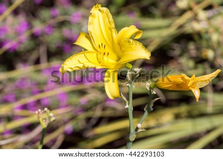 Single bright yellow lily in a summer garden - stock photo