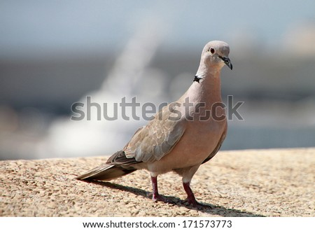 Single brown pigeon on the stone for different uses - stock photo