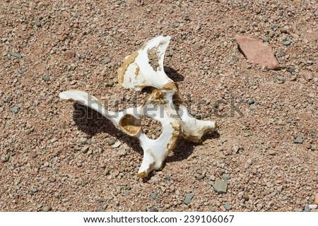 single camel bone in the desert - stock photo
