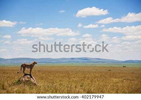 Single cheetah in the middle of the savannah, Kenya - stock photo