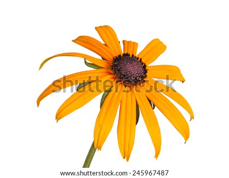 Single compound yellow and black flower of a brown- or black-eyed Susan (Rudbeckia hirta) isolated against a white background - stock photo
