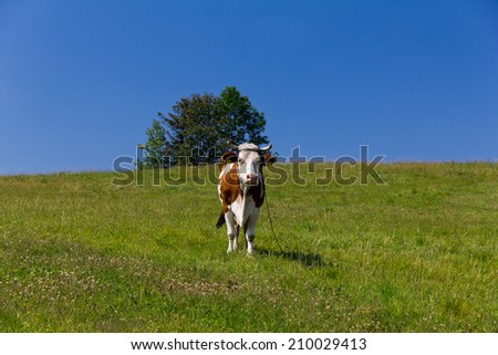 single cow standing on green meadow on blue sky background - stock photo