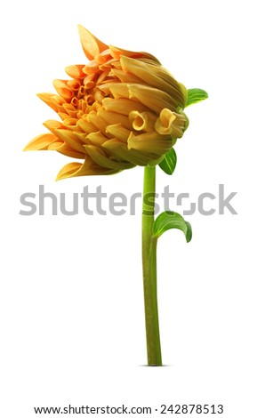 Single dahlia isolated on white background. - stock photo