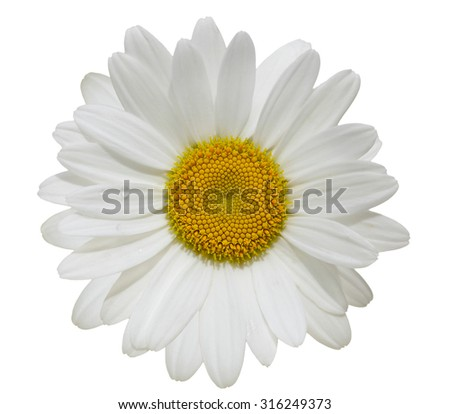 Single daisy flower head isolated on white background - stock photo