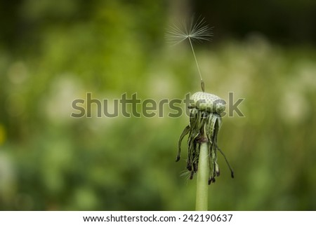 single dandelion on abstract background - stock photo