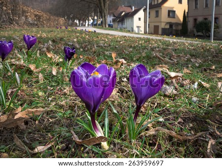 Single, dark purple crocuses blooming in the grass next to a footpath in a small town, taken in Sulz am Neckar, Germany.   - stock photo