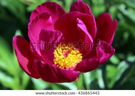 Single dark purple peony, vivid blooming flower - stock photo