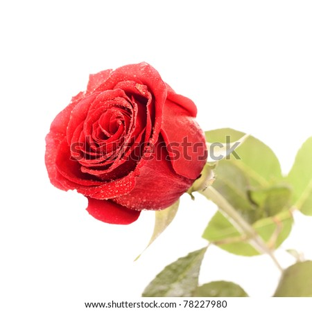 single dark red rose close up isolated on white - stock photo