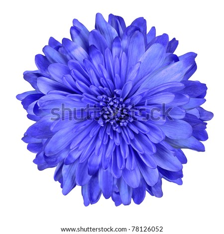 Single Deep Blue Chrysanthemum Flower Isolated over White Background. Beautiful Dahlia Flowerhead Macro - stock photo