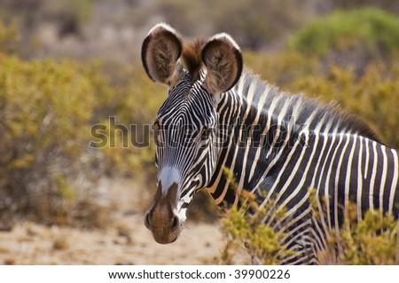 single detail of a grevys zebra in the setting sun on safari in the samburu national park ,kenya - stock photo