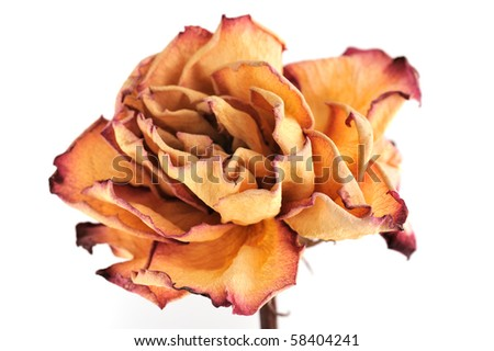 Single dry rose on a white background, isolated - stock photo