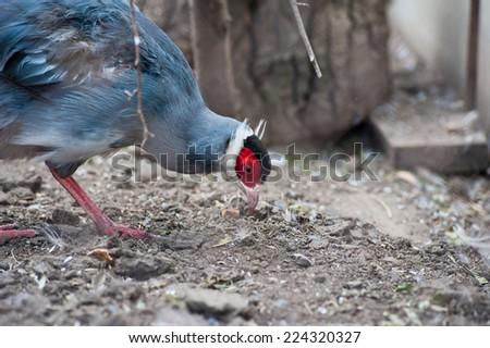 Single eating pheasant bird photo - stock photo