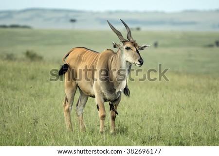 Single Eland - stock photo