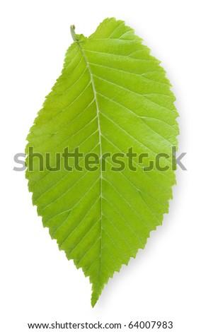 Single Elm leaf - stock photo
