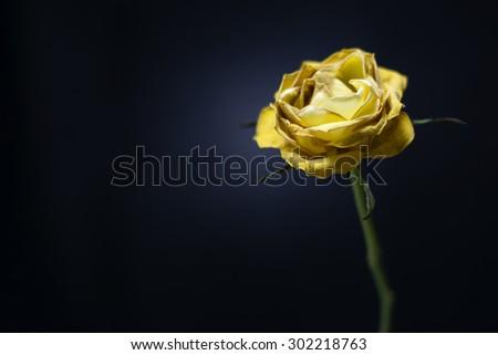 Single faded yellow rose on black background - stock photo