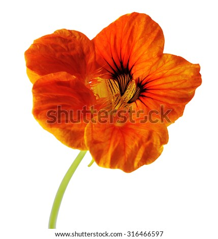 single flower of orange nasturtium isolated on white background - stock photo